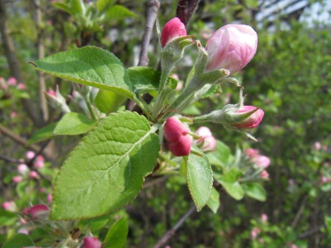 Noch geschlossene rosa Apfelblüte