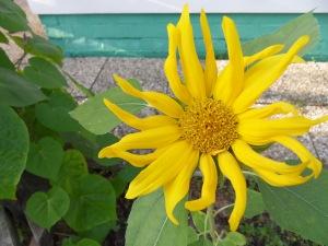 Struppige Sonnenblume