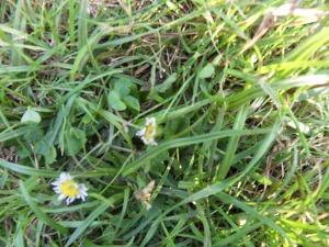 Gänseblümchen und Klee auf Gras