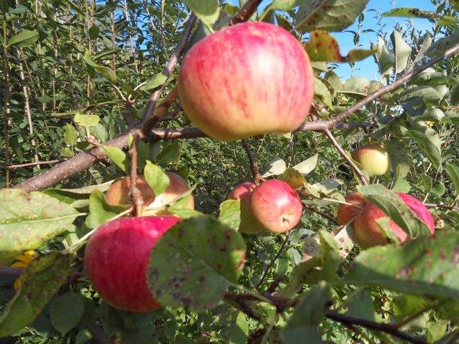 Äpfel rot 1