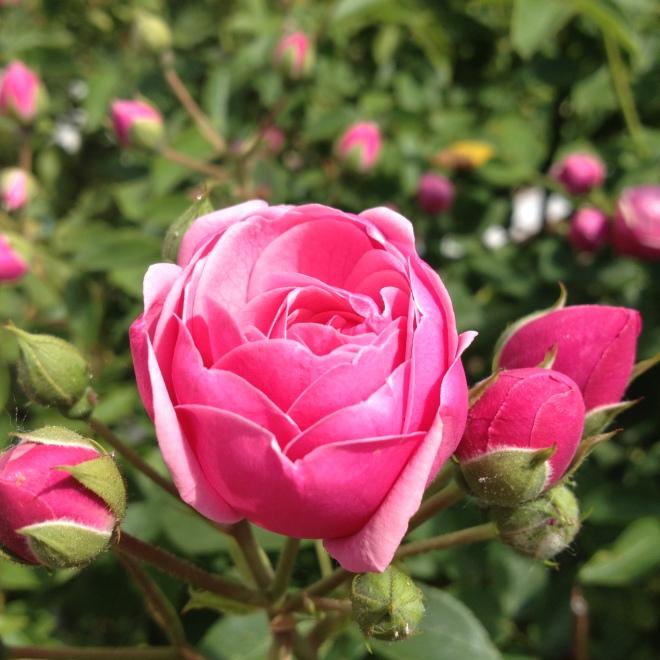 Rose und Knospen in pink