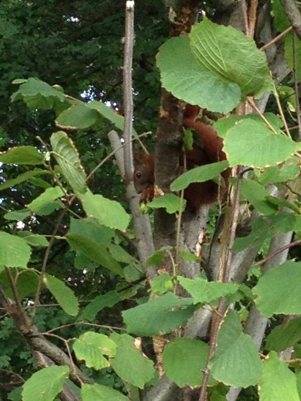 Eichhörnchen im Haselnussbaum